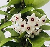 꽃피는호야(동일품배송 )|Hoya carnosa