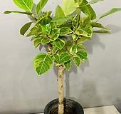 뱅갈고무나무 (동일품배송) 높이 110 너비 60 Ficus elastica