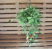 호야(로이드)|Echeveria minima hyb Roid