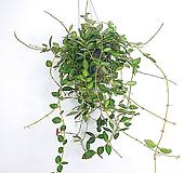 호야마니당 / 호야 / 꽃피는호야 / 수입식물 / 공기정화식물 /한빛농원|Hoya carnosa