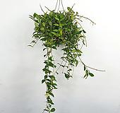 라쿠노사 / 호야 / 꽃피는호야 / 수입식물 / 공기정화식물 /한빛농원|Hoya carnosa