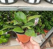 소원호야 호야 소품 수입호야 15~25cm|Hoya carnosa