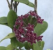 호야(꽃대9개)|Hoya carnosa