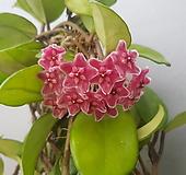 호야,분홍,도입종|Hoya carnosa