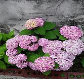 수국 올썸머 뷰티-1주 Hydrangea macrophylla