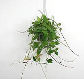 메모리아 / 호야 / 꽃피는호야 / 수입식물 / 공기정화식물 /한빛농원|Echeveria Memory