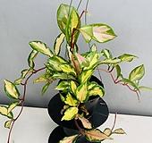 호야 (빨강) 동일품배송|Hoya carnosa
