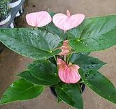 핑크안시리움|Anthurium andraeaeanum