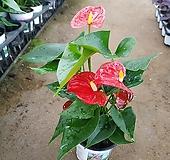 빨강안시리움|Anthurium andraeaeanum