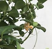 호야헤쉬겔리아나(꽃대5개)|Hoya carnosa