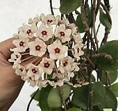 호야흰꽃(꽃대11개)|Hoya carnosa