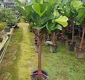 유럽형떡갈고무나무(외목대) Ficus elastica
