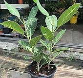 무지 뱅갈 고무나무 공기정화식물 Ficus elastica