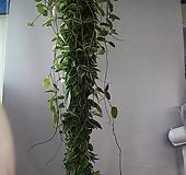 호야(대품)|Hoya carnosa