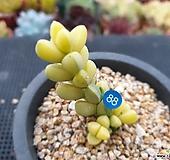 벽어연금 Corpuscularia lehmanni