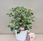 스윗하트고무나무(풍성수형) Ficus elastica