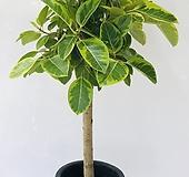 뱅갈고무나무 (특대품 동일품배송 ) Ficus elastica