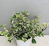 스윗하트고무나무 Ficus elastica