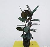 흑고무나무(중품)-딱하나 공기정화식물 Ficus elastica