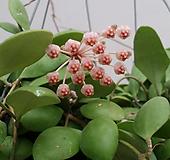 호야.노이드 (브라운색).꽃색깔예뻐요.향기좋은향.인테리어효과.공기정화식물.꽃눈이 많아요.잎도예뻐요.|Hoya carnosa