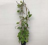 꽃피는호야(꽃대12개)|Hoya carnosa