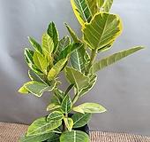 뱅갈고무나무(한목대)  잎이 불링불링해요( 중품) 새로입고 Ficus elastica
