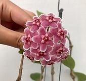 꽃피는호야(꽃대9개)|Hoya carnosa