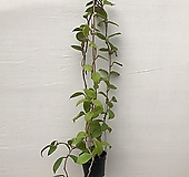 꽃피는호야(꽃대11개)|Hoya carnosa