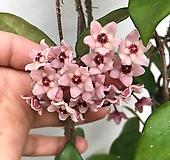 꽃피는호야(꽃대4개)|Hoya carnosa