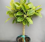 뱅갈고무나무 (목대굵은대품이며 동일품배송) 높이 110 너비 75 Ficus elastica