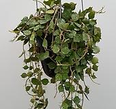 호야커티스(공중걸이분)|Hoya carnosa