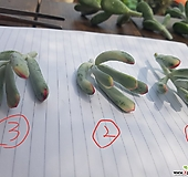 원종방울복랑금 컷팅(녹 좋습니다) Cotyledon orbiculata cv variegated