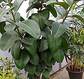 특대소피아고무나무-외목가지250 Ficus elastica