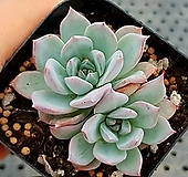 파랑새 28-219|Echeveria blue bird