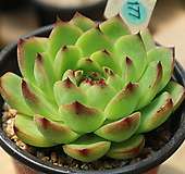 에케문스톤묵은둥이177|Pachyphytum Oviferum Moon Stone