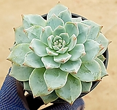 파랑새(중) 28-366|Echeveria blue bird