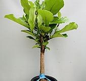 떡갈고무나무 (동일품배송) 높이 120 너비 64 Ficus elastica