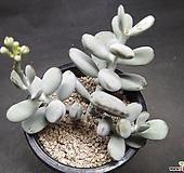 방울복랑-7101 Cotyledon orbiculata cv
