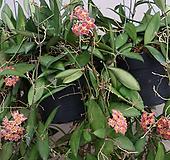 호야.(핑크색에 노란색립프).꽃색깔예뻐요.향기좋은향.인테리어효과.공기정화식물.꽃눈이 많아요.잎도예뻐요.|Hoya carnosa