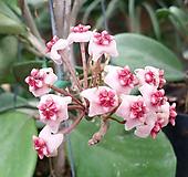 호야 오보바타(핑크에 밤색맆프색).잎이 둥근형.인테리어효과.공기정화식물.꽃눈이 많아요.|Hoya carnosa