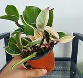 환희호야 / 공기정화식물|