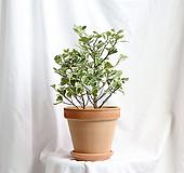 중품 스윗하트고무나무 이태리토분 완성 Ficus elastica