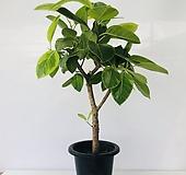 뱅갈고무나무 (동일품배송 ) Ficus elastica