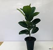 고무나무 (동일품배송 ) Ficus elastica