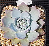 파랑새 160|Echeveria blue bird