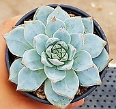 파랑새(중대) 63-111|Echeveria blue bird