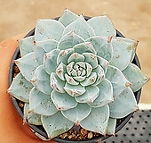 파랑새(중대) 63-160|Echeveria blue bird
