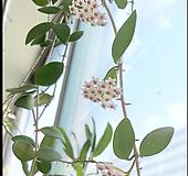 호야.(분홍색꽃).꽃색깔예뻐요.향기좋은향.인테리어효과.공기정화식물.공중식물.잎도예뻐요.|Hoya carnosa