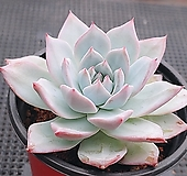 파랑새 8-254|Echeveria blue bird