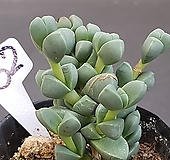 벽어연0819-452 Corpuscularia lehmanni